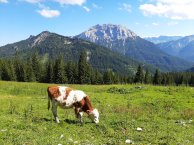 Je nach Erschöpfungsgrad wirkt die Kuh sogar lila.